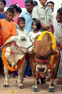 epa000477917 A midget 36-month-old, 75 centimetre high, Brahman cow named 'Thongkham' or Golden' (R) presented to his petite 18-month, 70 centimetre high, bride-to-be 'Thongkhao' or Bronze (L) during the world's first wedding ceremony for pygmy cows at the cattle market, Sa Kaew province, 160 kilometres (99 miles) east of Bangkok, Thailand, Sunday 10 July 2005. The owner of two male and female dwarf Brahman cows agreed to get their diminutive bovines together for the sake of reproducing the petite breed  EPA/KLAHAN FAISANTIPAB